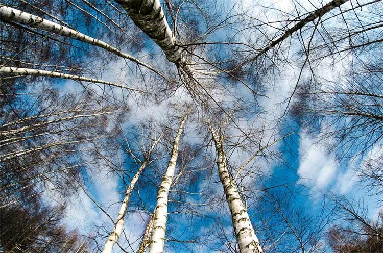 В местах для бурения колодцев должны быть водянистые деревья